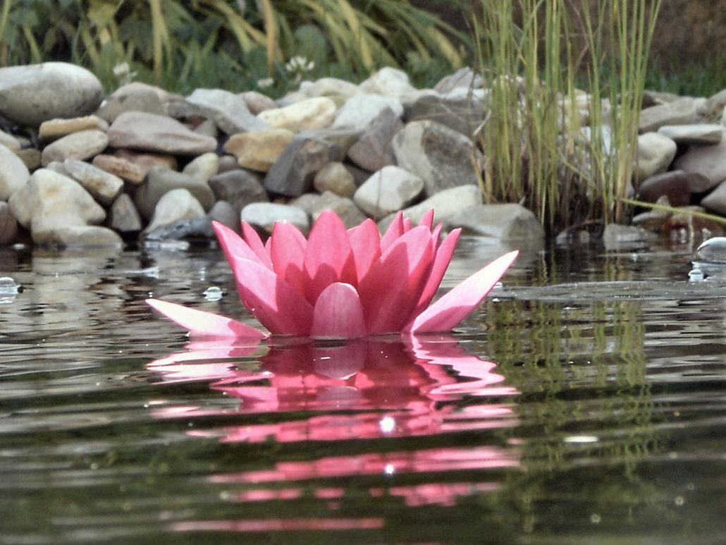 Lotus im Wasser